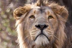 Азиатский лев в цвете Стоковая Фотография