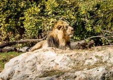 Азиатский лев, зоопарк Иерусалима библейский в Израиле Стоковые Изображения RF