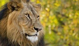 Азиатский лев: Пристальный взгляд Стоковая Фотография RF