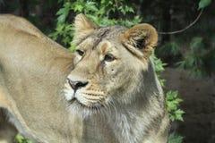 Азиатский лев - persica leo пантеры стоковые изображения rf