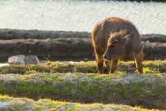 Азиатский индийский буйвол на полях риса террас Стоковое Изображение