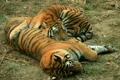 азиатский красивейший тигр Стоковое Изображение RF
