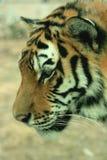 азиатский красивейший тигр Стоковое фото RF