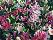 Азиатский красный цвет лилии Стоковое Изображение