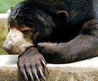 азиатский медведь Малайзия penang Стоковая Фотография RF