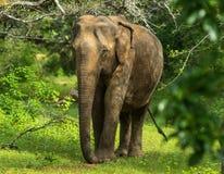 Азиатский молодой слон, предпосылка природы Yala, Шри-Ланка Стоковая Фотография