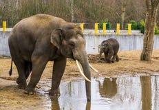 Азиатский мужской слон кладя свой хобот в воду, питьевую воду слона, угрожаемое животное от Азии стоковые изображения rf