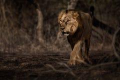 Азиатский мужчина льва в среду обитания природы в национальном парке Gir в Индии Стоковые Фотографии RF