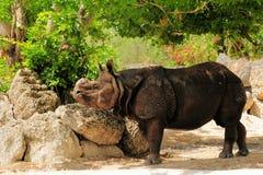 Азиатский носорог Стоковое Изображение