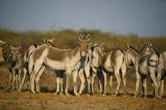 Азиатский одичалый ишак, khur hemionus Equus, меньшее Rann Kutch, Гуджарата стоковая фотография