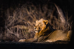 Азиатский отдыхать льва Стоковое Изображение RF