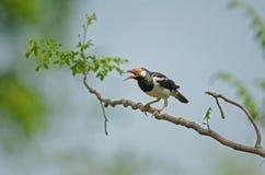 Азиатский пестрый Starling садясь на насест на ветви стоковая фотография
