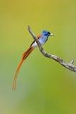 азиатский рай flycatcher Стоковое Изображение