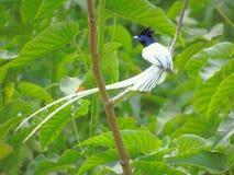 азиатский рай flycatcher стоковые изображения rf