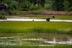 Азиатский рис фермы фермеров в Таиланде Стоковые Фотографии RF