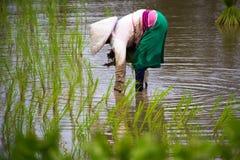 Азиатский рис фермы фермеров в Таиланде Стоковое Изображение RF