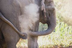 Азиатский слон в лесе Стоковая Фотография
