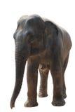 азиатский слон изолировал Стоковые Изображения