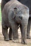 азиатский слон икры Стоковое Фото