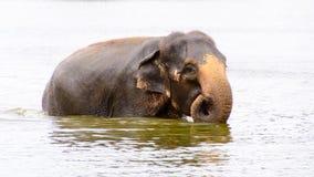 Азиатский слон купая в воде стоковые фотографии rf