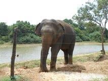 азиатский слон Очень славно стоковые фотографии rf