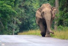 азиатский слон Таиланд одичалый Стоковое Изображение RF