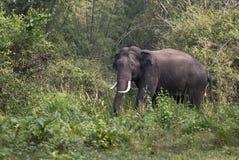 азиатский слон Стоковые Фотографии RF