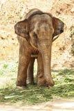 азиатский слон Стоковое Изображение RF