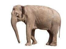 азиатский слон Стоковое Фото