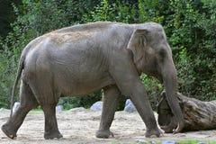 Азиатский слон, maximus Elephas в зоопарке стоковое изображение