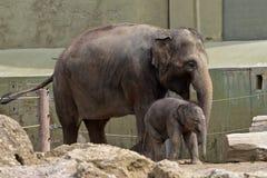 Азиатский слон, maximus Elephas также вызвал слона Азиатский стоковое фото