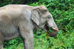 Азиатский слон (maximus Elephas) Стоковое Изображение RF