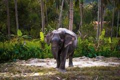 Азиатский слон в лесе Таиланде джунглей Стоковые Фотографии RF