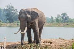 Азиатский слон в лесе, surin, Таиланд Стоковая Фотография