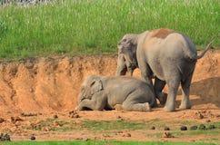 Азиатский слон в национальном парке Khao Yai Стоковые Фото