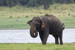 Азиатский слон в резервуаре Minneriya, Шри-Ланке Стоковые Изображения RF