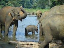 азиатский слон младенца Стоковое Изображение