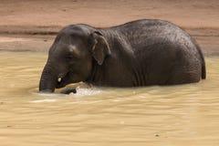 Азиатский слон принимая ванну стоковое фото rf