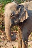 Азиатский слон Стоковое фото RF