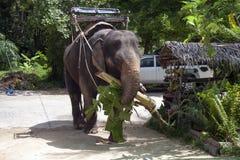 азиатский слон Стоковые Фото
