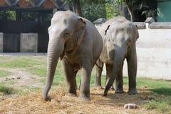 азиатский слон Стоковое Изображение