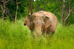 Азиатский слон, maximus maximus Elephas, с зеленой травой в хоботе Большое млекопитающее в среду обитания природы, национальный п Стоковое Изображение