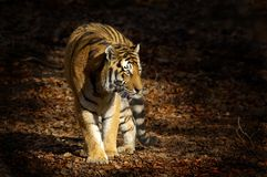 азиатский тигр Стоковая Фотография RF