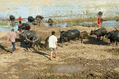 Азиатский фермер, пася, буйвол Стоковые Фотографии RF