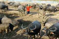Азиатский фермер, пася, буйвол Стоковое Изображение RF