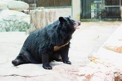 азиатский черный медведь сидя на утесе стоковые изображения