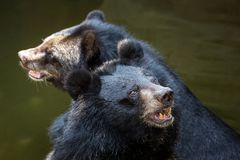 Азиатский черный медведь, азиатский черный медведь Стоковые Изображения
