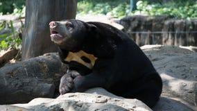 Азиатский черный медведь Siiting на утесе в зоопарке стоковая фотография rf