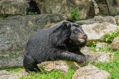 Азиатский черный медведь лежа на утесах Стоковое Фото