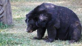 Азиатский черный медведь или тибетский черный медведь, наука называют thibetanus Ursus, в поле травы в HD сток-видео